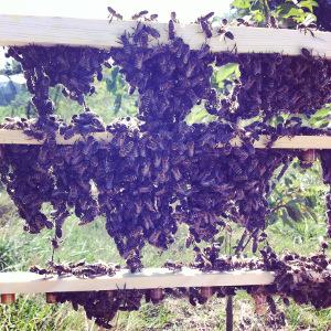 Elevage de reines : cellules royales recouvertes d'abeilles