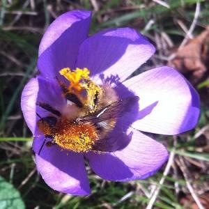 une abeille épanouie