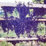 vente essaims et reines bio