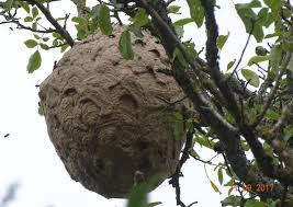 un nid de frelon asiatique