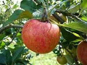 Une pomme querina des Trois Vergers
