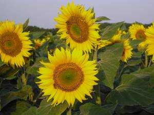 culture de tournesol bio en Dordogne