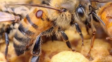 Notre traitement à l'acide oxalique contre le varroa